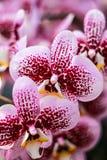 Orquídea en Tailandia imagenes de archivo