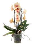 Orquídea en un crisol plástico Imagen de archivo libre de regalías