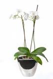 Orquídea en un florero Imágenes de archivo libres de regalías