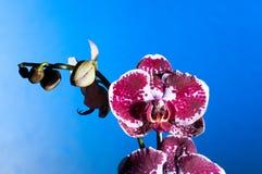 Orquídea en un fondo azul fotos de archivo libres de regalías