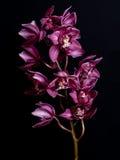 Orquídea en un fondo negro Fotos de archivo