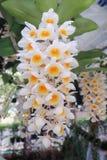 A orquídea está florescendo imagens de stock