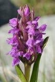orquídea Estreito-com folhas do pântano foto de stock