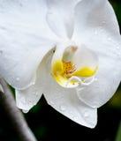 Orquídea exótica Foto de archivo