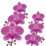 Orquídea exótica da flor sobre o branco Fotos de Stock Royalty Free
