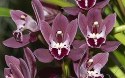 Orquídea feericamente das quedas da alfazema do vermelho do Cymbidium fotos de stock royalty free