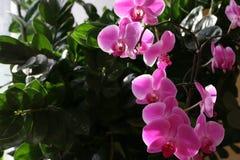 Orquídea florecida Foto de archivo libre de regalías