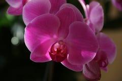 Orquídea florecida Fotos de archivo libres de regalías