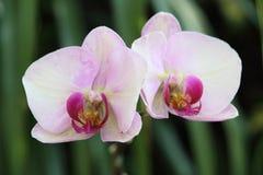 Orquídea floreciente Imagen de archivo libre de regalías
