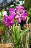 Orquídea floreciente de la flor Fotos de archivo