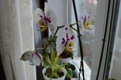 Orquídea floreciente del Phalaenopsis Fotografía de archivo libre de regalías