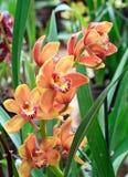 A orquídea floresce o galho Fotografia de Stock Royalty Free