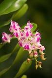 Orquídea fragante; Orquídea de Aerides Foto de archivo libre de regalías