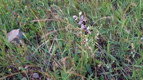 Orquídea francesa salvaje - orquídea de abeja en el campo Imagen de archivo