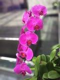 Orquídea fresca Imagens de Stock