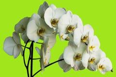 Orquídea graciosa da flor Fotos de Stock Royalty Free
