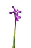 Orquídea Green-winged - morio de Orchis Foto de archivo