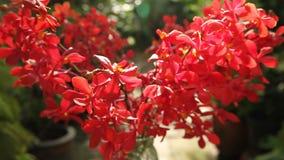Orquídea híbrida vermelha bonita de Vanda vídeos de arquivo