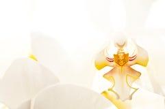 Orquídea (híbrido del Phalaenopsis) Imágenes de archivo libres de regalías