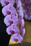 Orquídea hermosa Foto de archivo libre de regalías