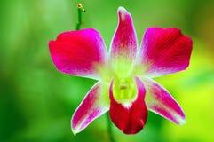 Orquídea hermosa fotos de archivo