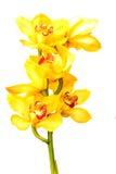 Orquídea hermosa de la flor aislada en el fondo blanco Foto de archivo libre de regalías