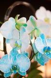 Orquídea hermosa del color del blanco y del azul de cielo Imagen de archivo libre de regalías