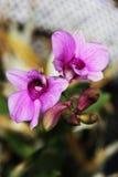 Orquídea hermosa del vilolet de la flora de las flores Imagen de archivo