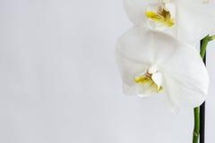 Orquídea home Foto de Stock Royalty Free