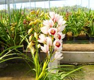 Orquídea impresionante Imagenes de archivo