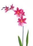 Orquídea isolada em um fundo branco Fotografia de Stock Royalty Free