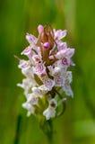 Orquídea manchada charneca do retrato da planta Fotografia de Stock