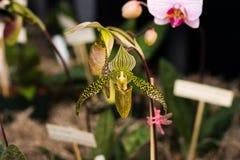Orquídea manchada de la jarra Imagen de archivo libre de regalías