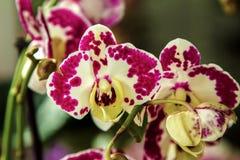 Orquídea manchada flor hermosa de la casa de la imagen fotografía de archivo libre de regalías