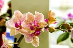 Orquídea manchada flor hermosa de la casa de la imagen imagen de archivo libre de regalías