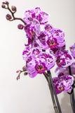 Orquídea manchada rosa floreciente Imágenes de archivo libres de regalías
