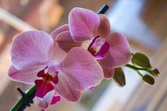 Orquídea na flor Fotografia de Stock Royalty Free