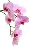 Orquídea no branco fotografia de stock royalty free