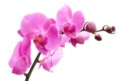 Orquídea no fundo branco Imagem de Stock Royalty Free