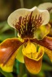 Orquídea no fundo colorido, macro Foto de Stock