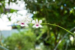 Orquídea no jardim Fotografia de Stock