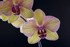 Orquídea no preto Imagens de Stock Royalty Free