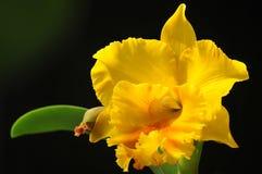 Orquídea no preto Fotografia de Stock