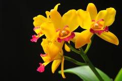 Orquídea no preto Imagem de Stock
