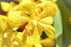 Orquídea o flabellata amarilla Rolfe ex Downie de Aerides Imagen de archivo