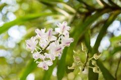 Orquídea: Odorata Lour de Aerides Foto de archivo libre de regalías