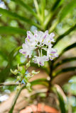 Orquídea: Odorata Lour de Aerides Fotos de archivo