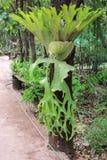 Orquídea, orelha de elefante Foto de Stock Royalty Free