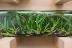 Orquídea originada de cultura del tejido imagenes de archivo