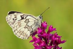 Orquídea, orquídea rosada y mariposa blanca, orquídea salvaje terrestre europea floreciente, hábitat de la naturaleza, detalle de Fotos de archivo